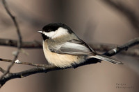 Black Capped Chicakdee
