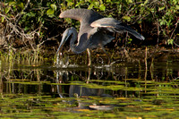 Blue Heron Catching Dinner