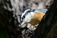 The Plum Tree Series Red Breasted Nuthatch