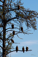 8 eagles in tree