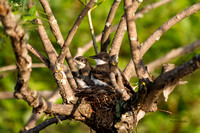 Eastern King Bird in Nest with Youth