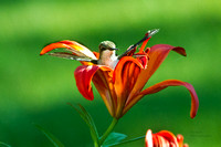 Hummingbird in Day Lily